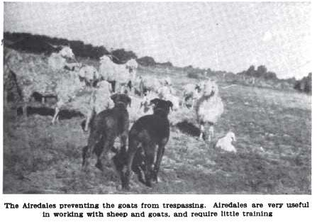 Airedales herding L.H. Durant's California ranch as pictured in Country Life in America dated September 01, 1911.